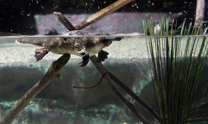 Čudnovati kljunari puni antidepresiva zbog zagađenja voda