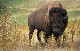 Jeloustoun organizovao ubijanje 442 bizona