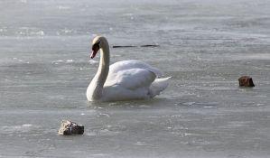 Spasen labud na zaleđenom jezeru u Zrenjaninu