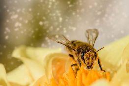 Naučnici treniraju pčele da otkrivaju koronu