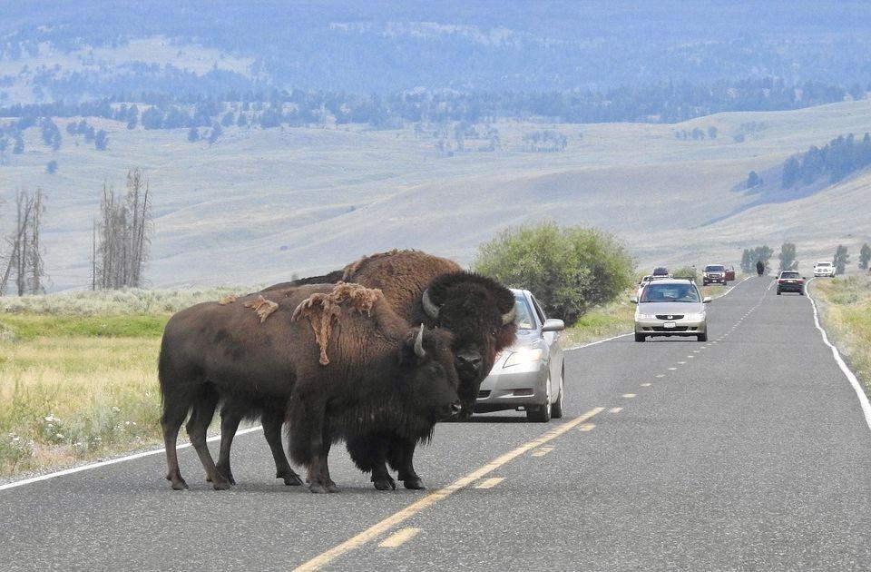 Više od 45.000 ljudi se prijavilo za lov na bizone
