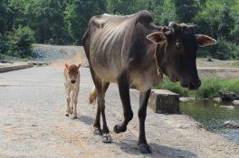 U Indiji uskoro onlajn test znanja o kravi