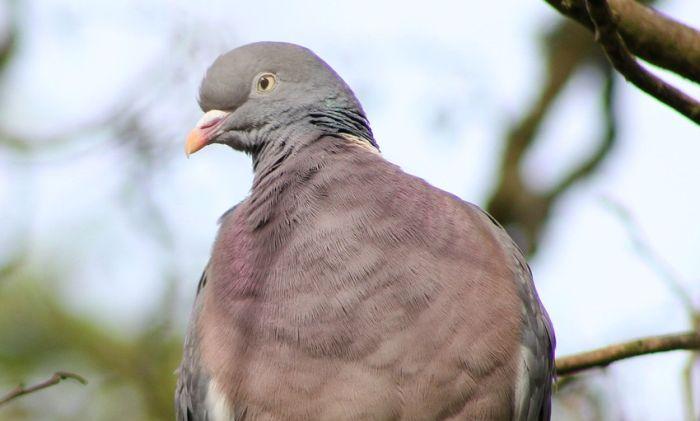 Policija privela tri lovca koja su kod Bačke Palanke ubila više od 100 divljih golubova