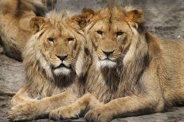 Osam lavova zaraženo virusom korona u zoo vrtu u Indiji
