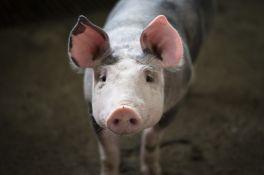 Unija poljoprivrednih proizvođača: Tovno svinjarstvo pred totalnim uništenjem