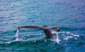 VIDEO: Naučnici pokazali kako posmatraju i broje kitove iz svemira