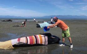 VIDEO: Uginulo 15 nasukanih kitova, aktivisti, građani i vladini zvaničnici pokušavaju da spasu ostale