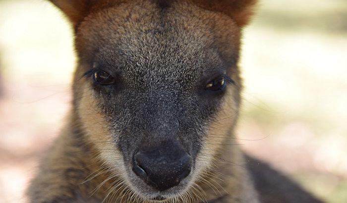Otkrivena slika kengura stara 17.300 godina