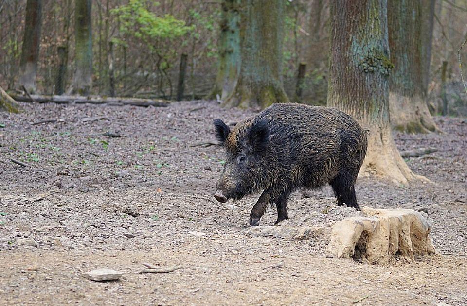 Divlje svinje opustošile groblje kod Rijeke