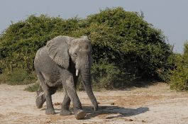 Nakon osam godina objavljen snimak ubijanja slona i javnost je besna