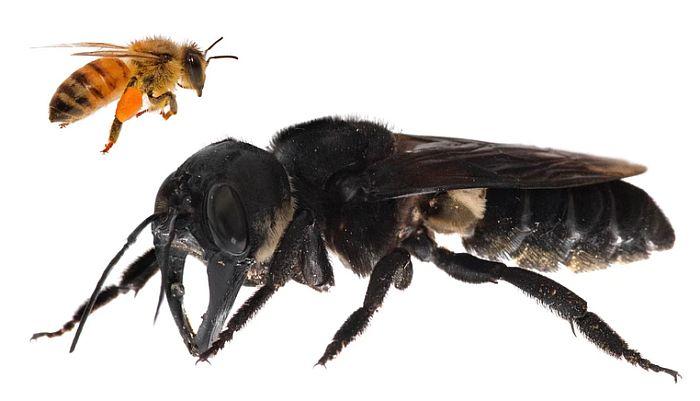 Pronađena najveća pčela na svetu