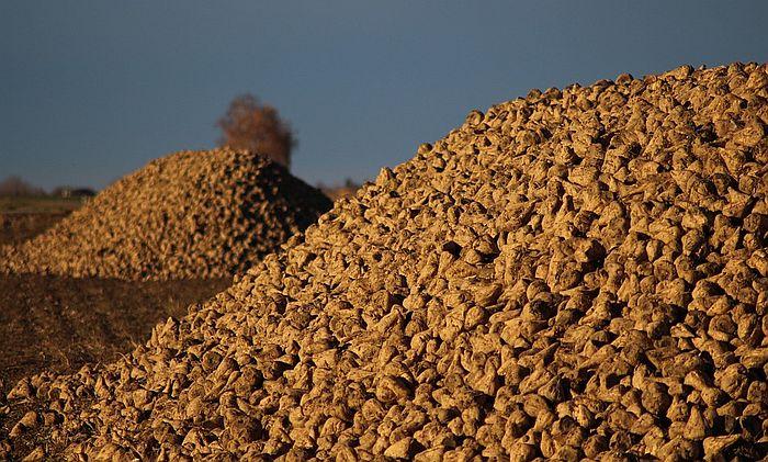 Hoće li u Srbiji opstati uzgoj šećerne repe?