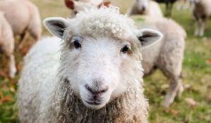 Sombor: Uhapšeni kradljivci stoke sa salaša