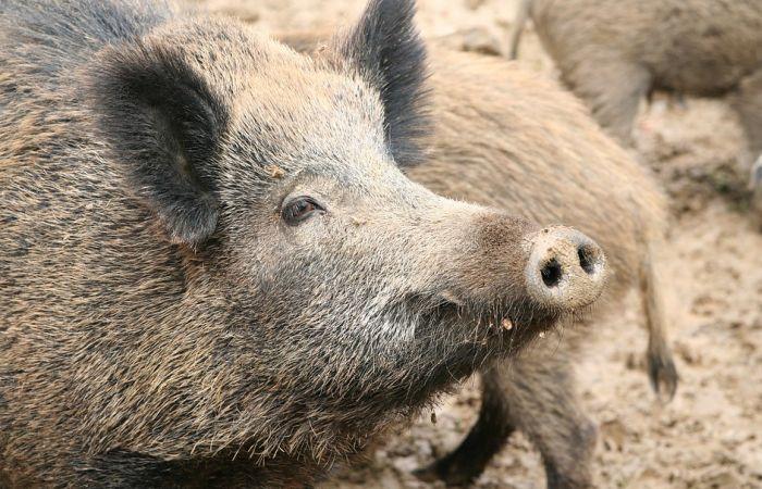 Lovci za jedan dan ubili 158 divljih svinja