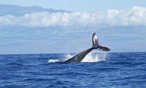 Istraga zbog smrti 70 sivih kitova