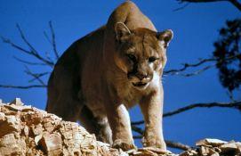 Rukama zadavio planinskog lava