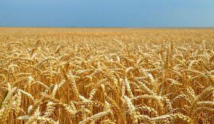 Saković: Pšenica i kukuruz u Srbiji naglo poskupeli zbog veće tražnje u zdravstvenoj krizi