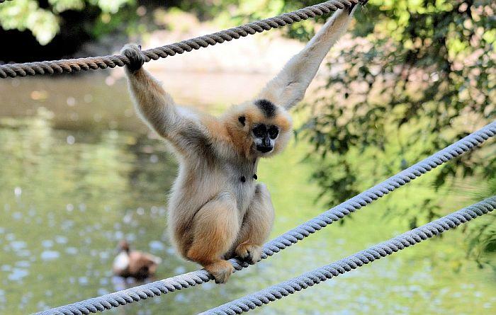 Otkriven novi par gibona, najugroženije vrste majmuna na svetu