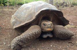 Kornjača sa Galapagosa pronađena živa, smatralo se da je izumrla pre 115 godina