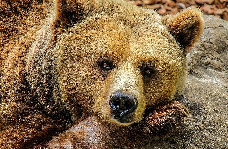 Mrki medved se pojavio na Radan planini