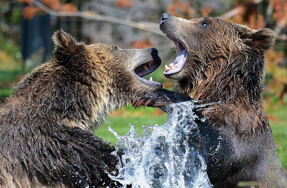 Dva smeđa medveda eutanazirana nakon bega iz zoo vrta