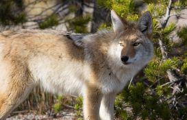 Kojot napao dvogodišnje dete, otac deteta životinju udavio rukama