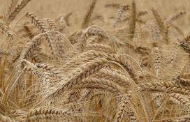 Zbog nekvalitetne pšenice, Srbija će uvoziti žito iz Mađarske