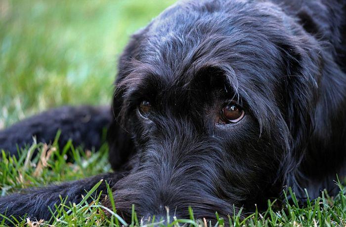 Šest pasa u Belgiji obučeno za otkrivanje korona virusa kod ljudi