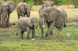 VIDEO: Krdo slonova na ekskurziji od nekoliko stotina kilometara, usput pljačkaju useve