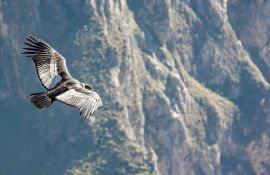 Andski kondori lete i 170 kilometara bez jednog pokreta krila