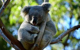 Polemika oko toga da li su koale zaista funkcionalno izumrle