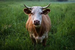 Farmer mora da plati 8.000 evra odštete zbog smrada svojih krava