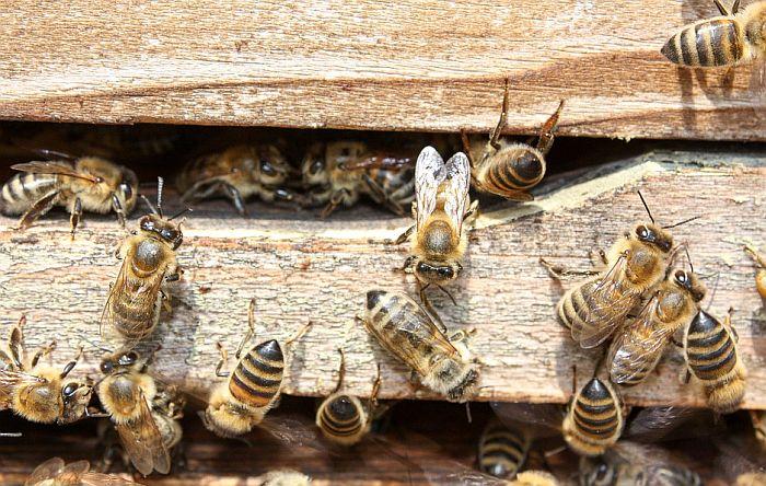 Od Pokrajine šest miliona dinara pčelarima u Kikindi koji su ostali bez 50 miliona pčela