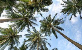 Beograd dobio prve palme, zasađeno šest stabala na Kalemegdanu