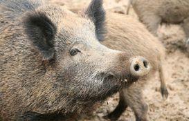 VIDEO: Divlje svinje prošetale Novim Beogradom