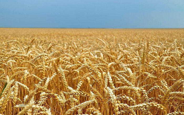 Država ne zna gde se nalazi sva pšenica