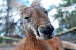 Ženu prebio kengur