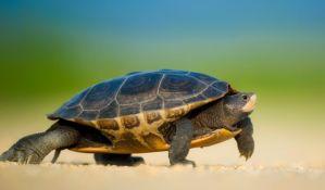 Jedini mužjak zaštićene vrste kornjača konačno dobija partnerku i šansu za opstanak