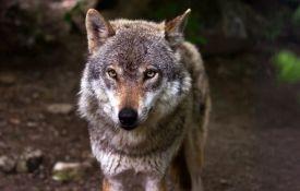 Vuk ubio kengura u Belgiji