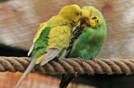 Istraživanje pokazalo: Kućni papagaji žude za prirodom
