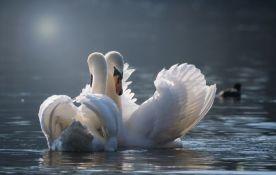 VIDEO: Izlečena labudica vratila se svom partneru