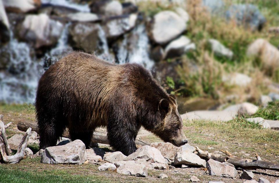 Medved izvukao ženu iz šatora u SAD i ubio je