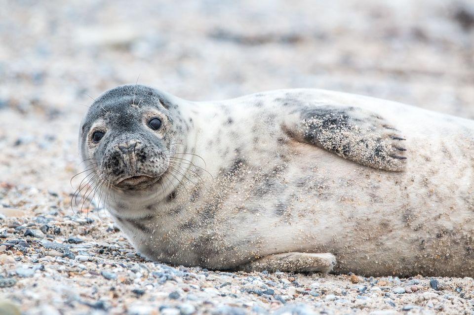 Sve više foka na belgijskim plažama, tome doprinela dva faktora