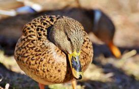 Otkriven ptičji grip na farmi pataka u Bugarskoj