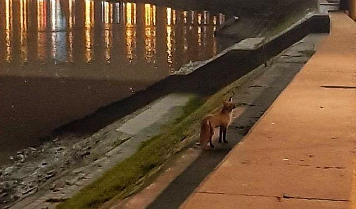 Stručnjak za 021 o lisicama u Novom Sadu: Zašto su tu, da li su opasne i koje životinje vole ljudsku okolinu?