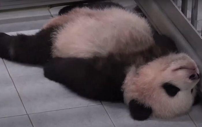 VIDEO: Snimak bebe pande koja grli i ne pušta nogu radnika zoo vrta postao viralan
