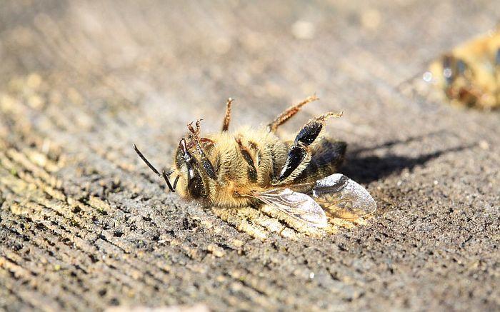 Prekomerna upotreba pesticida ubila 50 miliona pčela kod Kikinde