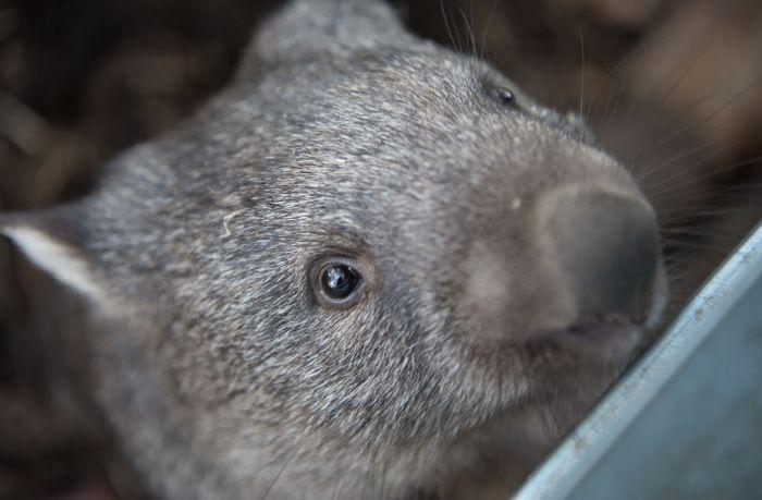 Vombati tokom australijskih požara ispali slučajni heroji