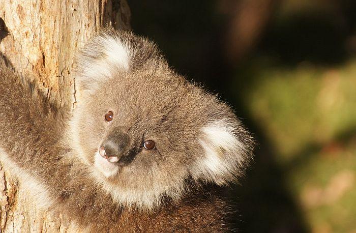 FOTO: Beba koala ne odvaja se od mame koja je operisana