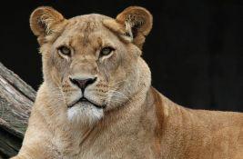 Uginula sva četiri lavića koje je omacila lavica Kiara u subotičkom Zoo vrtu